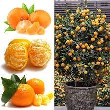 Promotion! 100pcs / Lot Balcon Arbres Patio Potted fruits Graines Plantées Kumquat Graines d'Orange Seeds Tangerine Citrus, # ZY4HSU