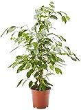 AIRY Ficus Benjamina Exotica - Higiénico para interior (mejora la calidad del aire, diámetro de maceta: 17 cm, altura: 70 cm, envío seguro, control de calidad por jardinería alemana)