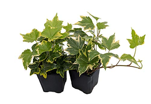 Gold Child English Ivy - Hardy Groundcover/House Plant -Sun/Shade-2 Pack 3' Pots