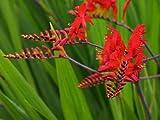 Crocosmia Lucifer Plants in a 17cm Pot. Montbretia. Good for Cut Flowers. RHS AGM