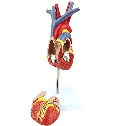 WGFGXQ Menschliches Organmodell Medizinisches Modell Herzanatomisches (1: 1) Modell für den naturwissenschaftlichen Unterricht