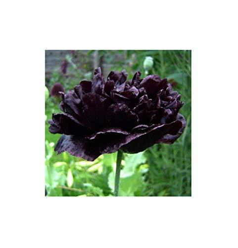 Stk - 100x Papaver paeoniflorum Black Peony Garten Pflanzen - Samen B2200 - Seeds Plants Shop Samenbank Pfullingen Patrik Ipsa