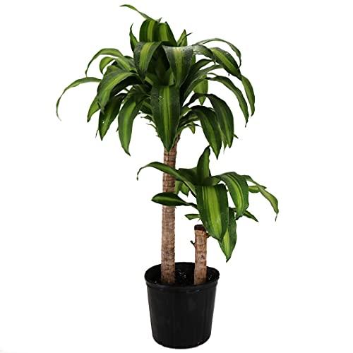 AMERICAN PLANT EXCHANGE Dracaena Massangeana Live Corn Plant Top Indoor Air...