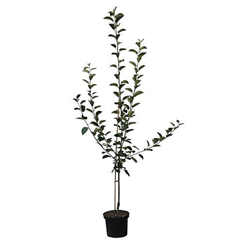 Müllers grüner Gartenshop Apfelbaum Piros robuster Sommerapfel aromatisch Buschbaum ca. 150-170 cm 9,5 Liter Topf MM 111