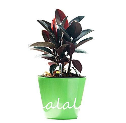 """Ponak Nuevas 50 PC Ficus Elastica""""Decora"""" semillas de plantas para jardinería marrón"""