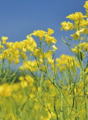 コヤマダ『菜の花』