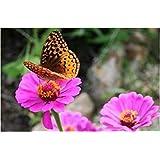 。花の種子:梅雨の私道のパスのためのCalendula-ドワーフダブルサイズミックスフラワー種子(6つのパケット)庭の植物の種子