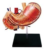 ヒトの胃臓器解剖モデルアセンブリ12の取り外し可能な臓器教育や医師のギフト 0928