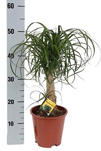 Elefantenfuß, (Beaucarnea recurvata), pflegeleichte Zimmerpflanze (17cm Topf, ca. 55cm hoch)