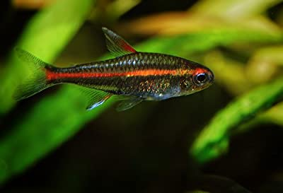 "WorldwideTropicals Live Freshwater Aquarium Fish - (6) 1"" Fire Neon Tetras - 6 Pack of Fire Neons (Glo-Lites) Live Tropical Fish - Great for Aquariums - Populate Your Fish Tank!"