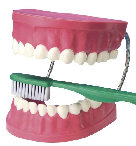 EDUPLAY 120067 - Zahnpflegemodell