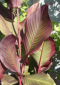 Vista 20 Pcs/Sac Graines de Canna Jardin Plantes Vivaces Bonsaï Variété de Graines de Fleurs en Pot Compléter The Budding Rate 98% (couleurs mélangées) Rose