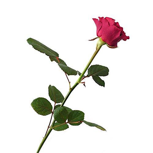 Verdissimo-Rosaamorosa50cmrosapastele.20