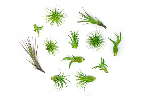 Air Plant Variety Pack 24 Small Tillandsia Terrarium Kit  Assorted Species of Live Tillandsia  2 to 5 Inch Each for Home Decor  Plants for Pets