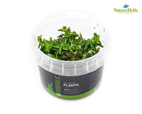 Indische Rotala/Rotala Indica - NatureHolic In-Vitro Aquarium Nano Aquarium Pflanze