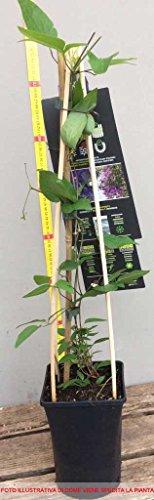 1 planta de Clematide Montana Grandiflora, maceta de 16 cm Clematis