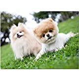 DIY 5D Diamond Painting by Number Kits, Pomeranian Diamond Embroidery Full Drill Crystal Rhinestone Cross Stitch Pictures Arts Craft for Home Wall Decor Gift (50x60cm/20x24in) L3426