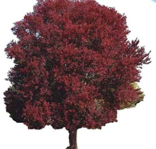 "Burgundy Belle Maple Tree - Acer rubrum ""Magnificent Magenta"" - Heavy Established Roots - Two Gallon Potted - 1 Plant by Growers Solution"