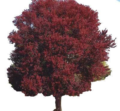 Grower's Solution Burgundy Belle Maple Tree