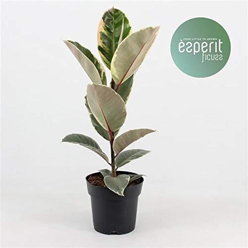 Weissbunter Gummibaum 30 cm Ficus elastica Tineke Zimmerpflanze