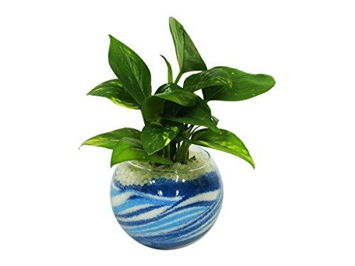 花市場直送便 ポトス(カラーサンド植え) バブルボール10cm ブルー