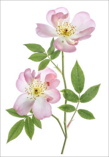 Posterlounge Cuadro de Aluminio 100 x 130 cm: Pink Roses de Mandy Disher