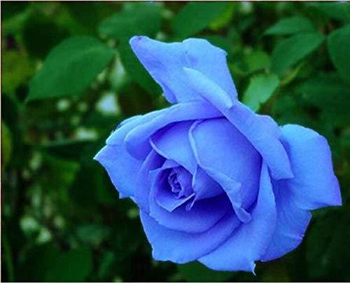 GEOPONICS Beautiful Light semi della Rosa 80 SEMI -acquistare 4 PUNTI