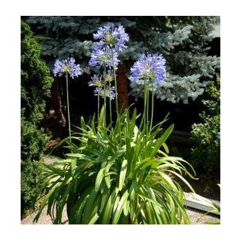 Lemo Gartendesign Schmucklilie dunkelblau Agapanthus dunkelblau, 2 St/ück