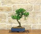 Bonsai Ficus Retusa in vaso cm. 30