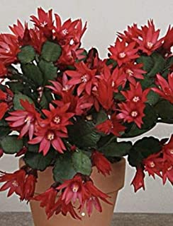 3 Nice Cuttings Easter Cactus Red Color (No Root) 2 Segments Each Cutting