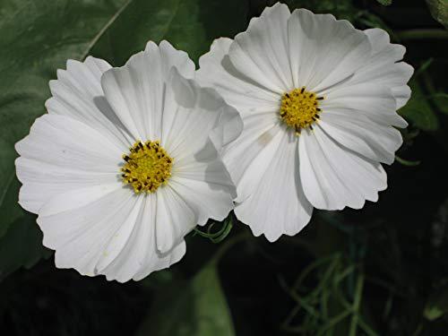 RETS Seeds: Cosmos Bipinnatus Purity 450 Seeds