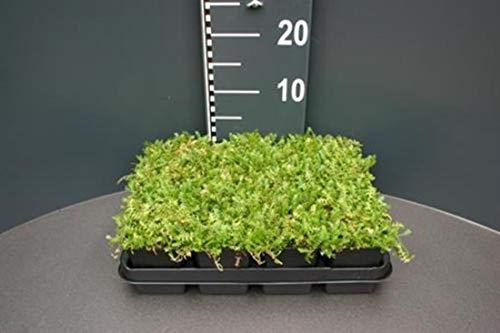Fiederpolster 25 Stück Cotula Leptinella Rasenersatz Bodendecker T9x9