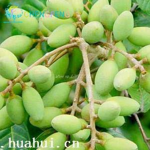 Shopmeeko 2016 20pcs / Sac Olive Bonsaï Arbre (Olea Europaea) bonsaï Bonsaï Mini Olivier Arbre Bonsaï Frais Exotiques Plantes D'arbres Bricolage Plante S: Bourgogne
