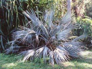 TOMHY Samen-Paket: Keim Seeds PLATFIRM-5 Samen von Nannorrhops ritchiana Z2504 (Mazari Palm)