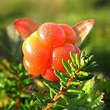Oce180anYLVUK Semilla, 50Pcs / Bolsa Semillas Semillas De Frutas Frescas De Rubus Chamaemorus De Rápido Crecimiento Ecológicas Para El Hogar Semilla