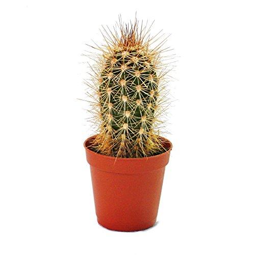 Pachycereus Pringley – Medium Taille Plante en pot de 8.5 cm