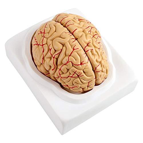KSTE Cerebro Humano Modelo, 8Parts anatómicas arterias del cerebro humano Modelo Conjunto Medical Supply Escuela Científica