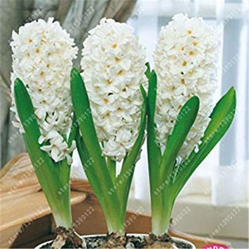 Echte Hyazinthen Zwiebel, Hyazintheblume, Bonsai Blumenzwiebeln so immer duftend