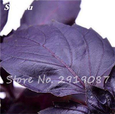 200 pièces rares Violet basilic Graines Bonsai Plante aromatique douce Ocimum basilicum Légumes Aromatique Graines Bonsai Pour la maison Cuisine 2
