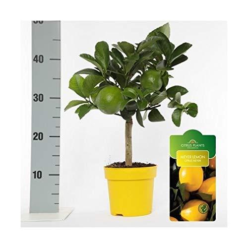 Zitronenbaum Meyer -Lisa- Stämmchen 45 cm ohne Früchte Citrus Meyer Lemon