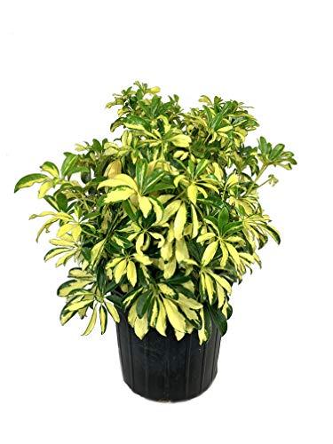 Trinette Arboricola - Live Plant in a 3 Gallon Pot - Schefflera Arboricola Trinette - Easy Care Variegated Shrub