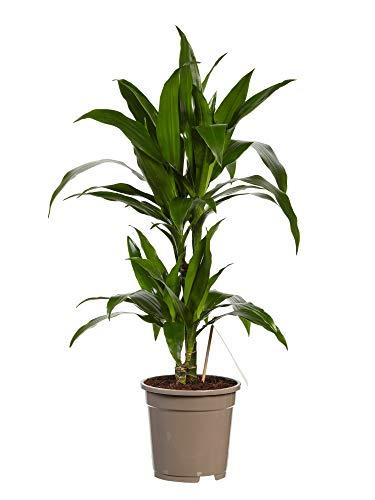Zimmerpflanze von Botanicly – Drachenbaum – Höhe: 70 cm – Dracaena derem. Janet Craig