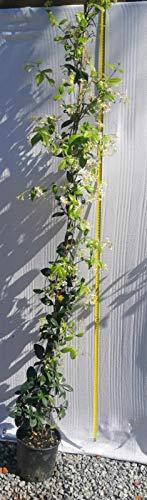 Gelsomino 5 piante (foto reali)
