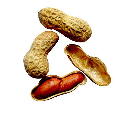 Erdnuss Samen 10 stk (Arachis hypogaea L.) Züchten sie ihre Erdnüsse selbst