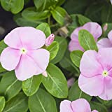 Outsidepride Pink Vinca Periwinkle Ground Cover Plant Flower Seed - 2000 Seeds