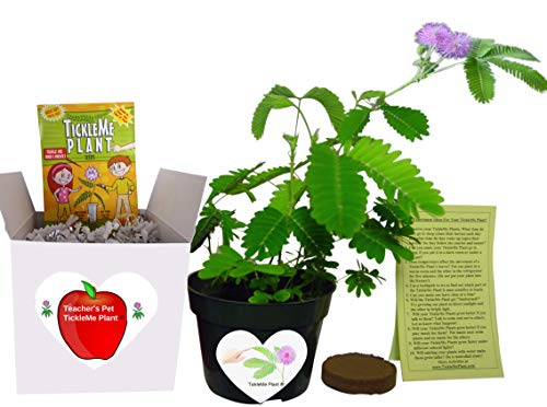 Gifts for Teachers- Show Appreciation - Pet TickleMe Plant - Grow The Classroom Plant That Closes its Leaves and Lowers Its Branches When You Tickle It. Funny and Guaranteed to Make Teachers Smile