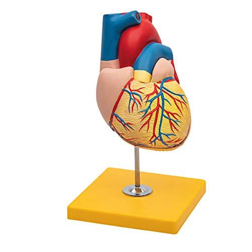 Elementary Anatomy - Budget 2 teiliges Anatomiemodell des menschlichen Herzens mit Sockel - Lebensgröße - Schulunterricht