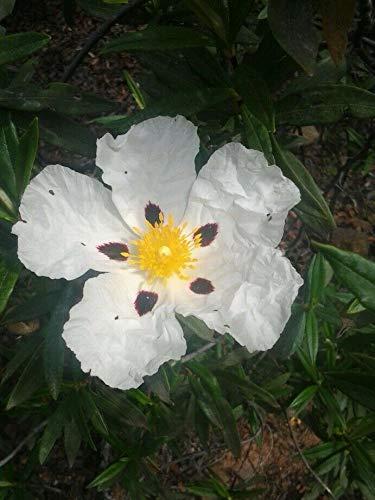 FERRY HOCH KEIMUNG Seeds Nicht NUR Pflanzen: Sharon Rose (Lack-Zistrose) - [Biblisch Seeds] - 2000 Bio/Bio-Saatgut