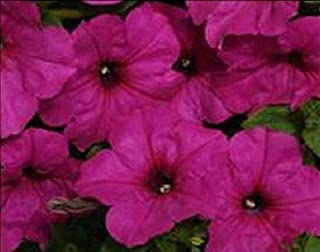 Petunia Spreading Easy Wave Neon Rose Flowers Seeds 100 Pcs an
