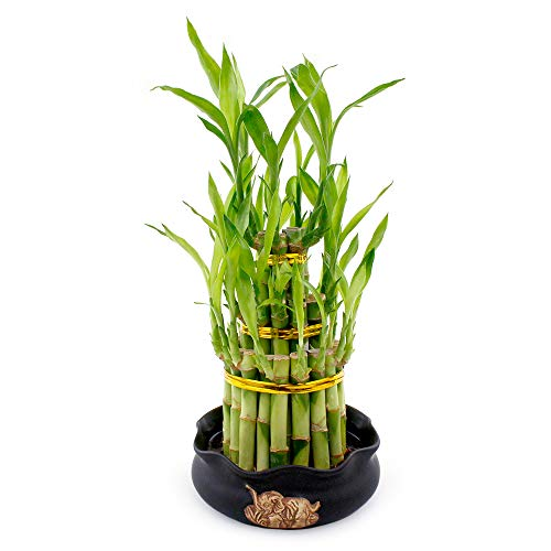 Live Lucky Bamboo 3 Tier Tower with Colorful Decorative Pot - 4, 6, and 8 Inch Lucky Stalks Indoor House Plant for Good Luck, Fortune, Feng Shui and Zen (Black Elephant)